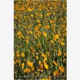 Yellow Wildflowers Stock Image, Oregon