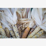 Corn Harvest Stock Image