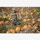 Kid in a Pumpkin Patch 3 Stock Image