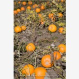 Pumpkin Patch Stock Image