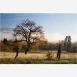 Lone California Black Oak Stock Image Ashland, Oregon