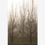 Pear Orchard in Fog Stock Image Oregon