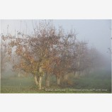 Pear Orchard in Fog 2 Stock Image Oregon