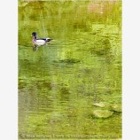Wood Duck in Pond Stock Image Ashland, Oregon