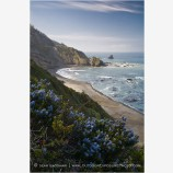 Ceanothus Coast Stock Image Northern California