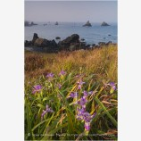 Wild Iris Stock Image Oregon Coast