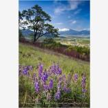 Wildflowers on Roxy Ann Butte 2 Stock Image Medford, Oregon