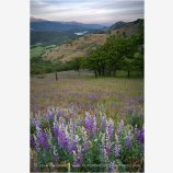 Wildflowers on Greensprings Highway Stock Image Ashland, Oregon
