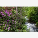 Ashland Creek with Rhododendrons Stock Image, Ashland, Oregon