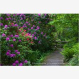 Rhodendron Bushes along Path Stock Image Ashland, Oregon