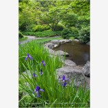 Iris Growing by a Pond Stock Image Ashland, Oregon