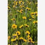 Yellow Wildflowers 2 Stock Image Oregon