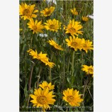 Yellow Wildflowers 3 Stock Image Oregon