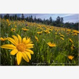 Yellow Wildflowers 4 Stock Image Oregon