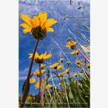 Yellow Wildflowers 5 Stock Image Oregon