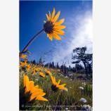 Yellow Wildflowers 6 Stock Image Oregon