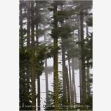 Forest in Fog Stock Image Oregon