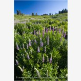 Lupine 2 Stock Image Southern Oregon