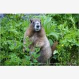 Marmot Stock Image Rainier National Park, Washington