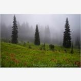 Field of Indian Paintbrush Stock Image Rainier National Park, Washington