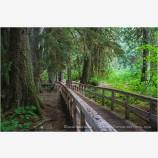 Forest Boardwalk Stock Image Rainier National Park, Washington