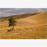 Lone Pine Tree Stock Image Palouse, Oregon
