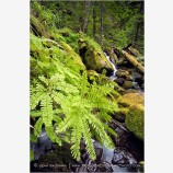 Fern by Watson Creek 2 Stock Image North Umpqua River, Oregon