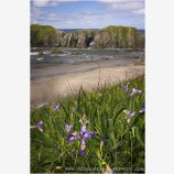 Bandon Beach Iris Stock Image, Bandon, Oregon Coast