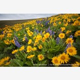 Dalles Mountain Flowers 2 Stock Image, Columbia Gorge, Washington