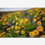 Dalles Mountain Flowers 2 Stock Image, Columbia Gorge, Washington
