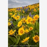 Dalles Mountain Flowers 3 Stock Image, Columbia Gorge, Washington
