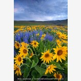 Dalles Mountain Flowers 4 Stock Image Columbia Gorge, Washington
