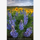 Dalles Mountain Flowers 5 Stock Image Columbia Gorge, Washington