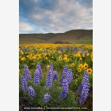 Dalles Mountain Flowers 6 Stock Image Columbia Gorge, Washington