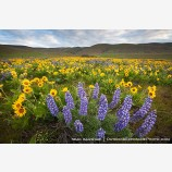 Dalles Mountain Flowers 7 Stock Image Columbia Gorge, Washington