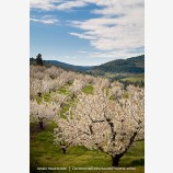 Cherry Orchard 4 Stock Image Columbia Gorge, Oregon