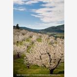 Cherry Orchard 4 Stock Image Columbia Gorge, Oregon