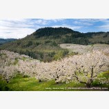 Cherry Orchard 5 Stock Image Columbia Gorge, Oregon