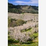 Cherry Orchard 7 Stock Image Columbia Gorge, Oregon