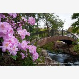 Rhododendron Bridge Stock Image Ashland, Oregon