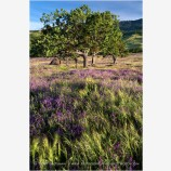 Tree in a Vetch Field Stock Image Ashland, Oregon