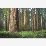 Stout Grove I Stock Images, California