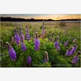 Lupine Sunrise Stock Image Ashland, Oregon