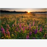 Lupine Sunrise 2 Stock Image Ashland, Oregon