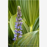 Lupine in Corn Lily Stock Image Oregon
