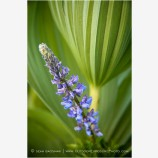 Lupine in Corn Lily 2 Stock Image Oregon