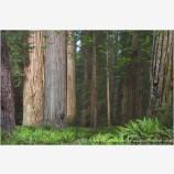 Stout Grove II Stock Image, California