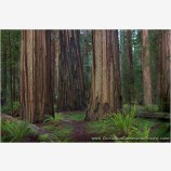 Stout Grove IV Stock Image, California