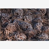 Pine Cones 4 Stock Image California
