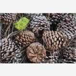 Pine Cones 5 Stock Image California